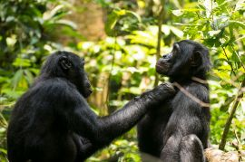 A male bonobo known as