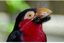 Red Barbet