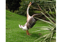 Chines Goose