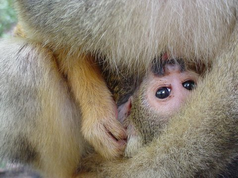 baby squirrel monkey
