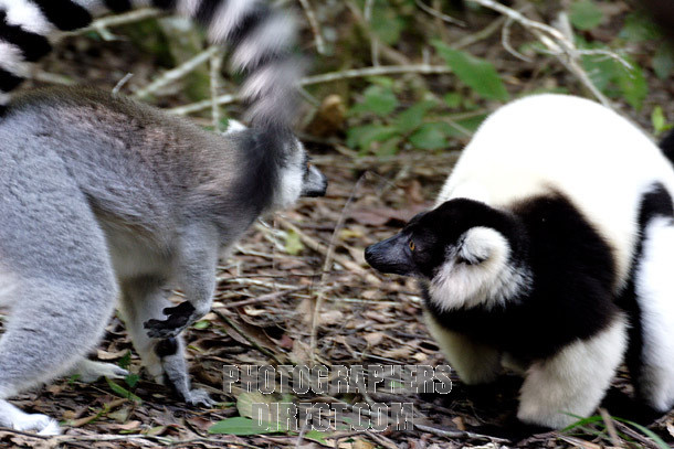 Ringtail and ruffed lemur