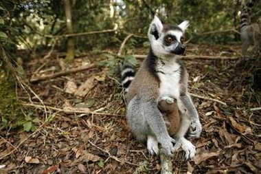Young Ringtail Lemur