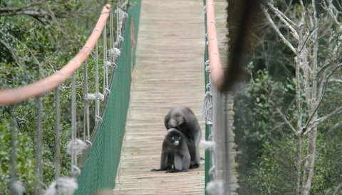 langur on bridge