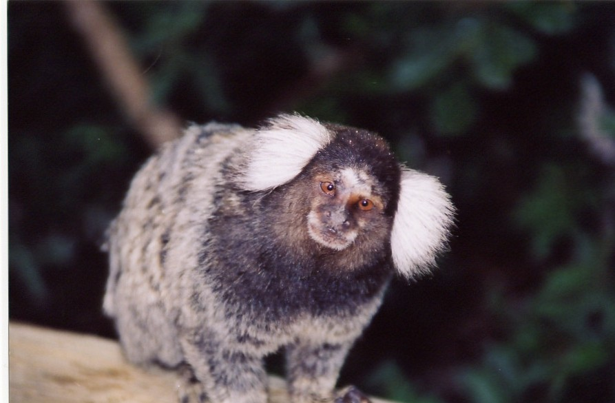 White-ear marmoset