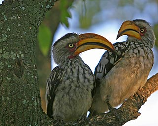 Yellowbilled Hornbilleds