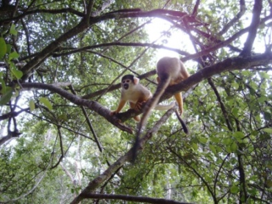 Squirrel monkeys in the trees